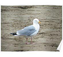 herring gull2 Poster