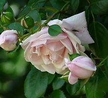 Summer Roses by artgoddess