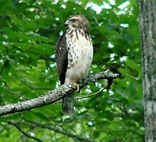 Young Red-Tailed Hawk by Jean Gregory  Evans