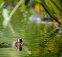 Mallard duckling by tonivainio