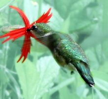 Ruby-throated Hummingbird Feeds On Fire Pink by Jean Gregory  Evans