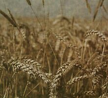 Wheat Field by Vicki Spindler (VHS Photography)