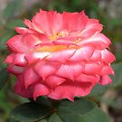 chameleon rose IV by Floralynne