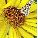 Butterfly on Yellow by Susan Werby