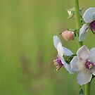 Moth Mullein by Michele Markley