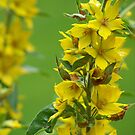 Yellow Loosestrife by Michele Markley