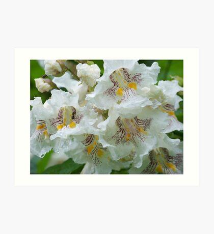 Catalpa Blossoms Art Print