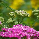 Yarrow by Michele Markley