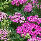 Pink Yarrow by Michele Markley
