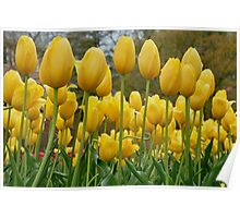 a garden of yellow tulips Poster