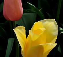 the pink tulip and the yellow tulip by 1busymom