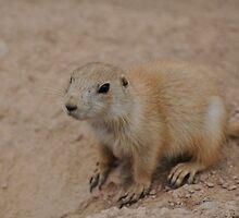 The Baby Prairie Dog I by Corkle
