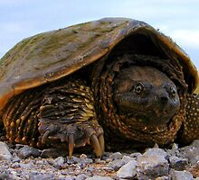 Snapping Turtle by David Nichols