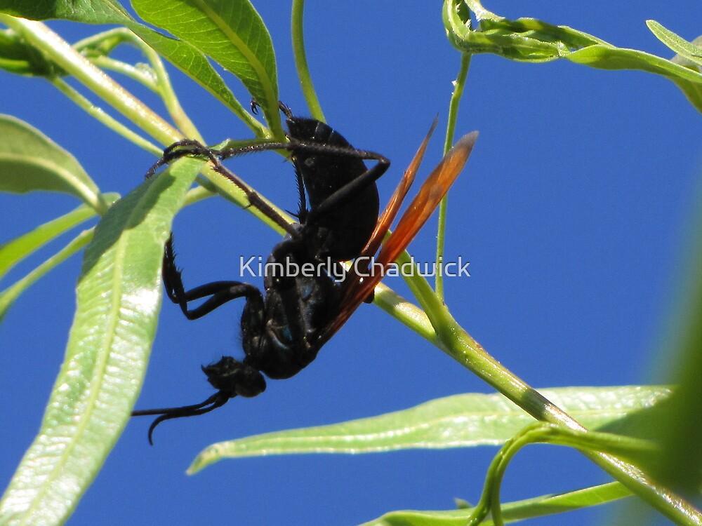 Tarantula Hawk by Kimberly Chadwick