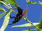 Tarantula Hawk by Kimberly Chadwick