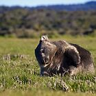 wombat  by col hellmuth