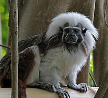 Cotton-Top Tamarin by Judy Vincent
