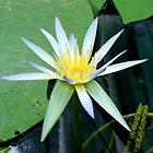Water Lily by Elizabeth Rose Rawlings