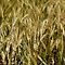 WHEAT (Barley, Hops, Oats) MACROS AND CLOSE UPS