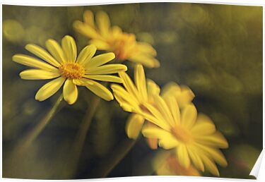 Daisies by Rhana Griffin