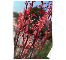 Red Yucca Poster