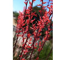 Red Yucca Photographic Print