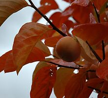 Autumn persimmon in the rain by turningjapanese