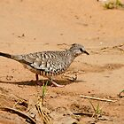 Scaled Dove by Robert Abraham