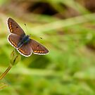 Brown Argus by Durotriges