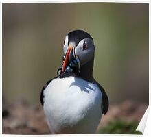 Puffin foody Poster