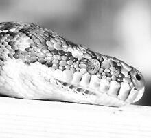 b/w python portrait by gaylene