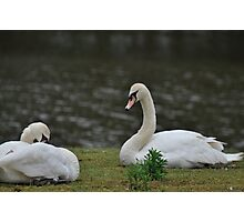 The Swans Photographic Print