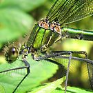 Damselfly (Calopteryx splendens - Female Banded Demoiselle) by Sally Green