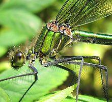Damselfly (Calopteryx splendens - Female Banded Demoiselle) by Sally Green