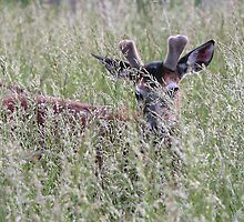 Hiding in the Tall Grass by Chris Snyder
