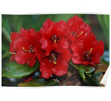 Rhododendron haematodes ssp. haematodes Poster