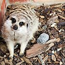 Meerkat at Whitehouse Farm, Morpeth by VictoriaM