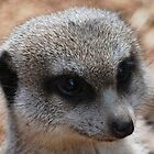 Meerkat by Joyce Keevil