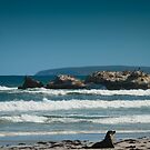 Kangaroo Island sea lion beach scape  by Stephen Colquitt