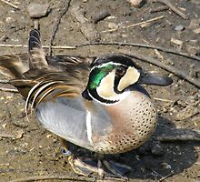 COLOURFUL DUCK by DAVE SNEYD