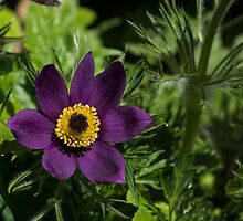 Deep Purple Easter Anemone Blossom by Georgia Mizuleva