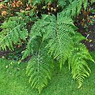 A Touch of Green - Beautiful Ferns  by kathrynsgallery