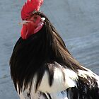 Lakenvelder Rooster by angelandspot