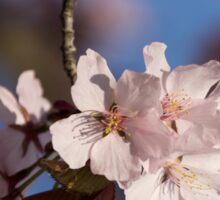 Pink Spring - Sunlit Blossoms and Blue Sky, Vertical Sticker