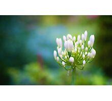 Viburnum Flower Photographic Print