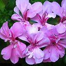 Pink geranium flower by Maria1606