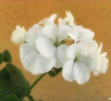White Geraniums 7 by Christopher Johnson