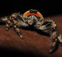 Tan Jumping Spider by Kane Slater