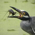 Yellow Crowned Night Heron by Savannah Gibbs