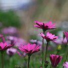 Purple african daisies by Sangeeta